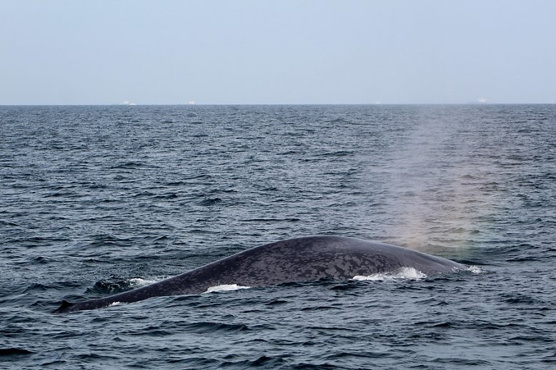Blue whale with a rainbow blow - slideshow