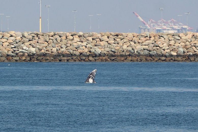 Gray whale breaching inside the breakwall with the port in the background - slideshow
