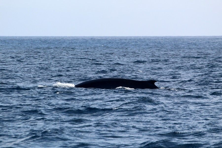 Fin whale with distinct notch in the dorsal fin - lightbox