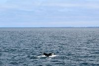 Humpback whale diving with fluke above water - thumbnail