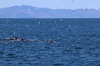 Common dolphins and sea birds with Catalina in the background - thumbnail