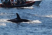 Female orca with other whale watchers in background - thumbnail