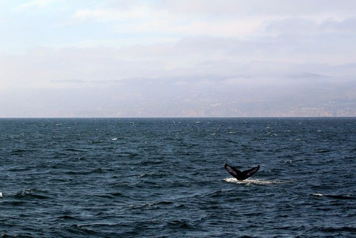 Humpback fluking at distance - lightbox
