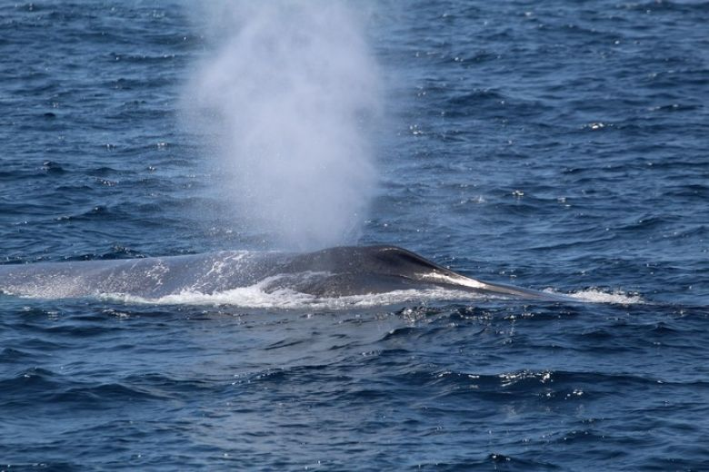 Close up of blue whale blowholes and blow - popup