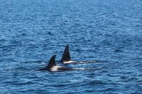 Two orcas at the surface - thumbnail