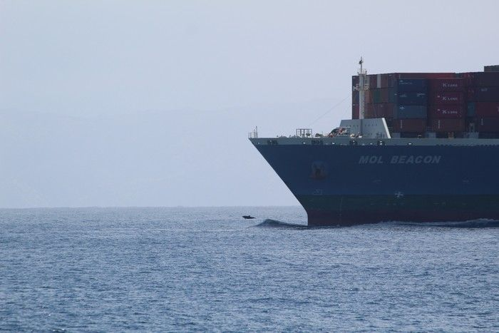 Bottlenose dolphin bow riding in front of a container ship - lightbox