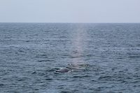 Humpback whale at distance - thumbnail