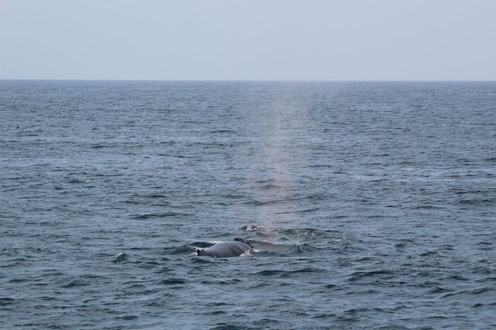 Humpback whale at distance - lightbox