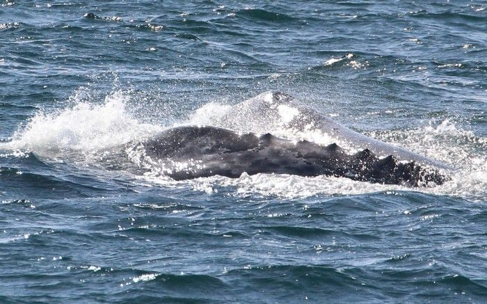 Gray whales - lightbox