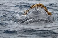 Humpback whale playing in kelp - thumbnail
