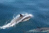 Common dolphin porpoising above the water - thumbnail