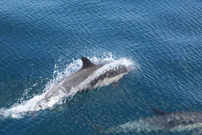 Common dolphin porpoising above the water - lightbox