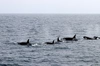 Orca pod lined up and moving through the water surface - thumbnail