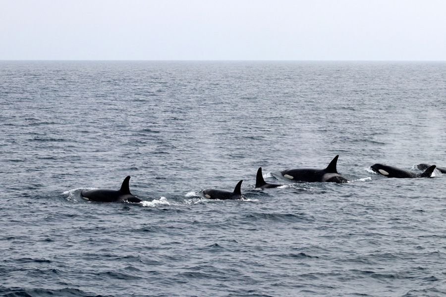Orca pod lined up and moving through the water surface - lightbox