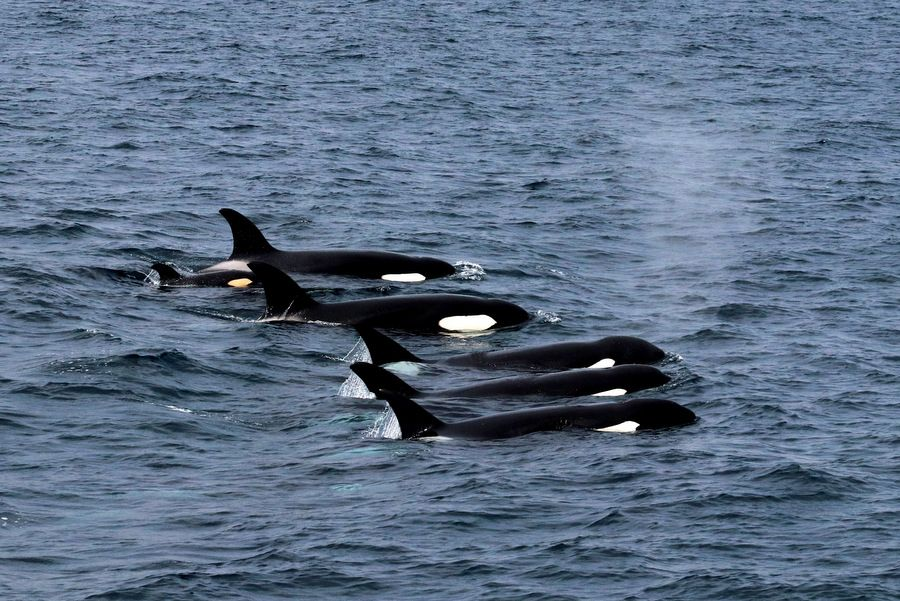Orca pods with baby lined up during a sighting - lightbox