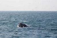 Chompers the Humpback whale feeding at the surface - thumbnail