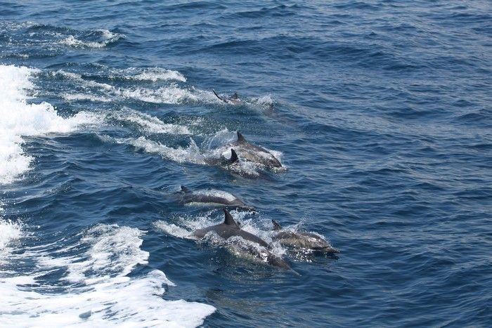 Common dolphins wake riding - lightbox