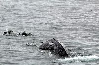 Gray whale and bow riding dolphins - thumbnail