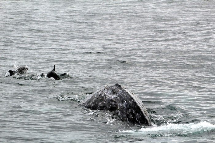 Gray whale and bow riding dolphins - lightbox