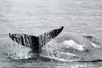 Gray whales, one fluking - thumbnail