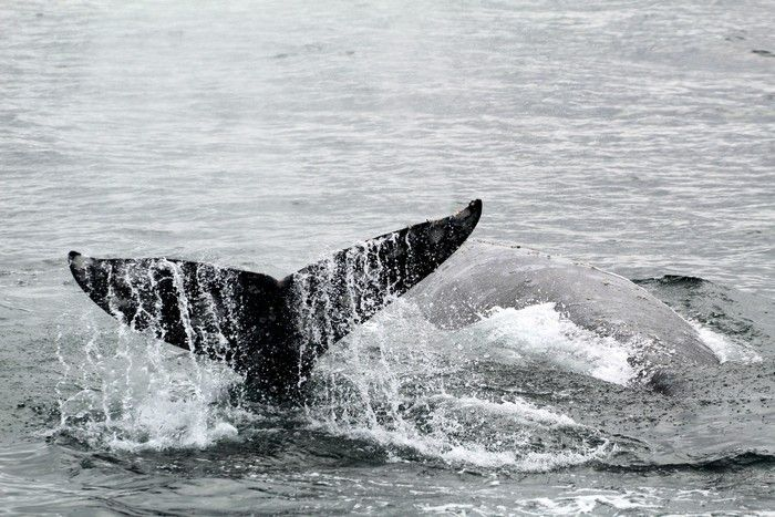 Gray whales, one fluking - lightbox