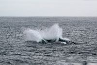 Breaching gray whale splash - thumbnail