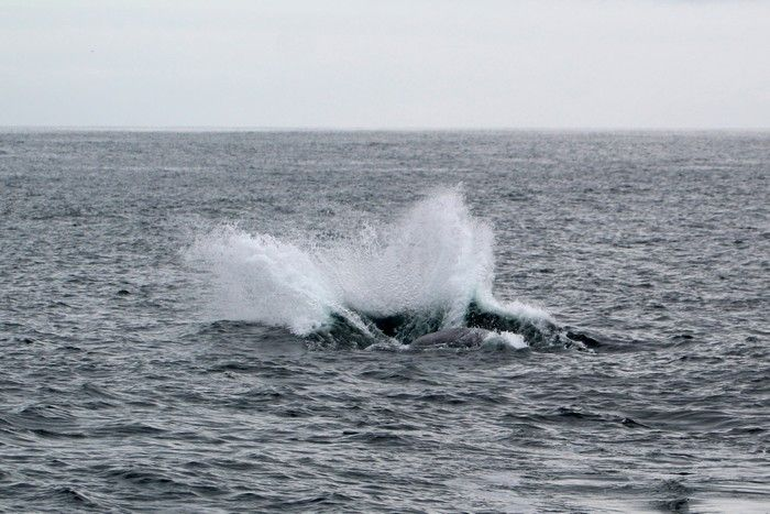 Breaching gray whale splash - lightbox