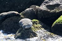 Harbor seal hauled out and sun bathing along the breakwall - thumbnail