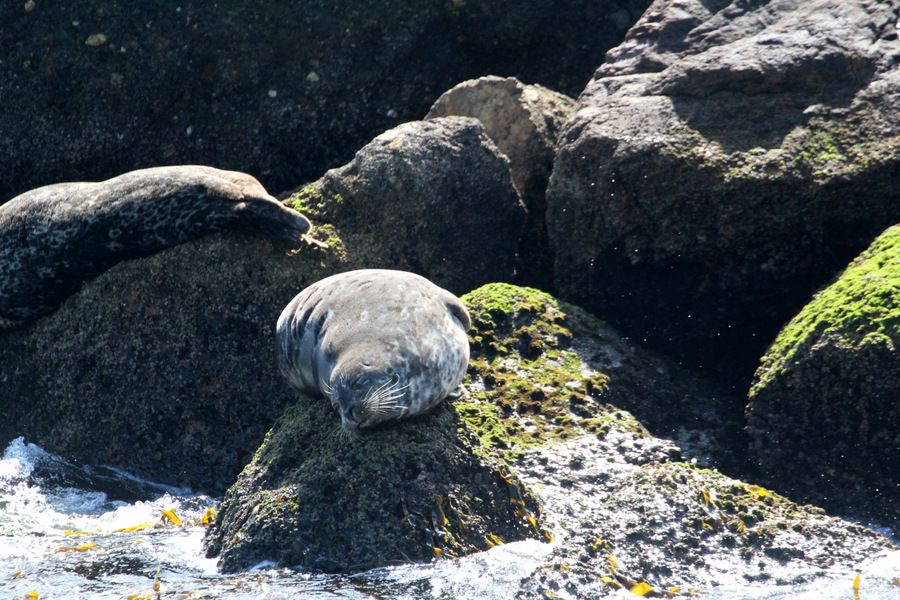 Harbor seal hauled out and sun bathing along the breakwall - lightbox