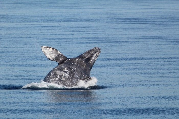 Gray whale breaching - lightbox