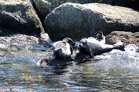 Harbor seals on the breakwall - thumbnail