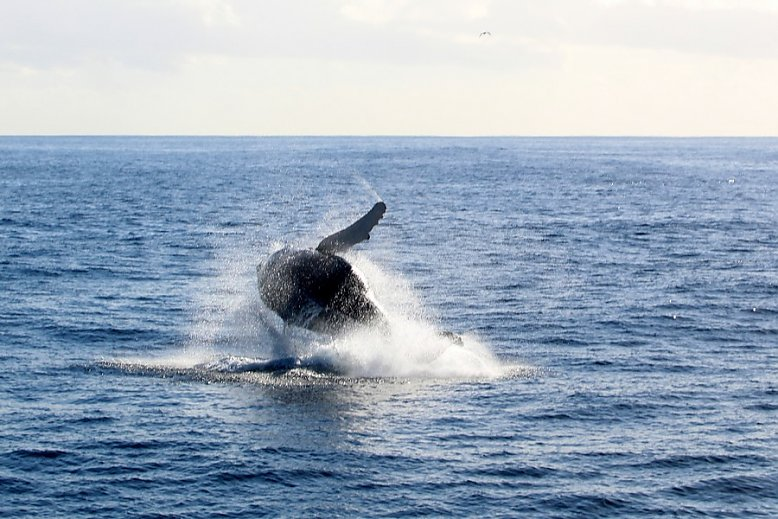Humpback whale breaching - slideshow