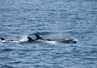 Very Rare Sighting of False Killer Whales!