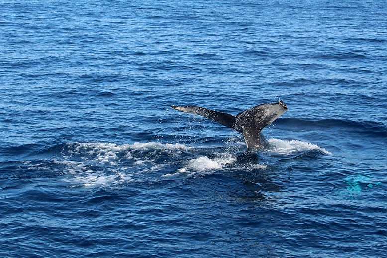 Humpback whale fluke with water cascading off the top - slideshow