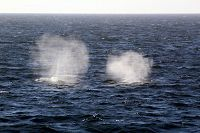 Two gray whales with blow in the air - thumbnail