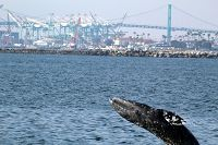 Gray whale breaching with the port and break wall in the background - thumbnail