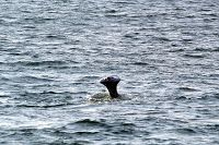 Gray whale missing entire fluke but healthy and swimming - thumbnail