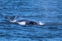 Humpback whale blowholes and dorsal - thumbnail
