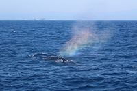 Humpback whale rainbow blow - thumbnail