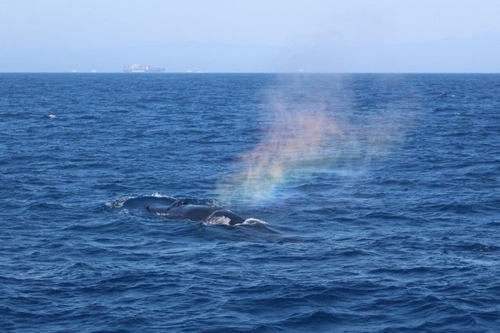 Humpback whale rainbow blow - lightbox