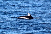 Pacific white-sided dolphin at the surface - thumbnail