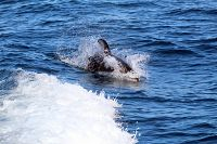 Pacific white-sided dolphin porpoising - thumbnail