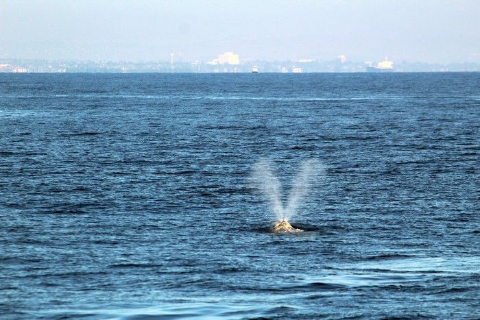 Gray whale blow - lightbox