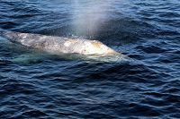 Gray whale close up - thumbnail