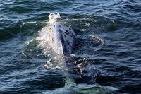 Gray whale tail stock and fluke beneath the water - thumbnail