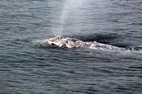 Gray whale at the surface with large older injury on its back - thumbnail