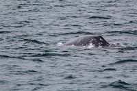 Gray whale cow and calf pair - thumbnail