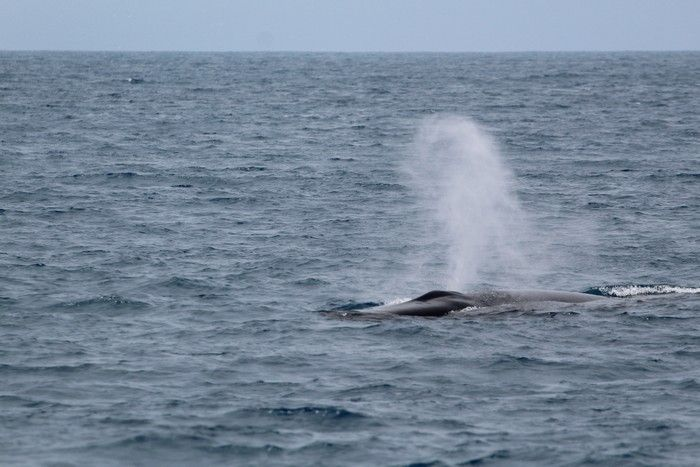 Fin whale blow - lightbox