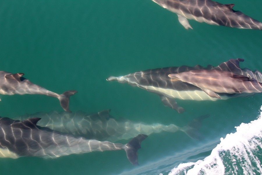 Common dolphins just below the surface of the water - lightbox