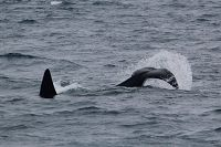 Orca tail slapping on the surface - thumbnail